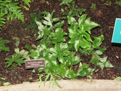 Doryopteris nobilis - Arrowhead Fern 9cm
