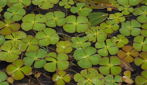 Marsilea quadrifolia 9cm €5.95