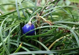 Ophiopogon chingii 9cm €5.95
