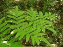 Osmunda japonica - Japanese Royal Fern 9cm £4.95