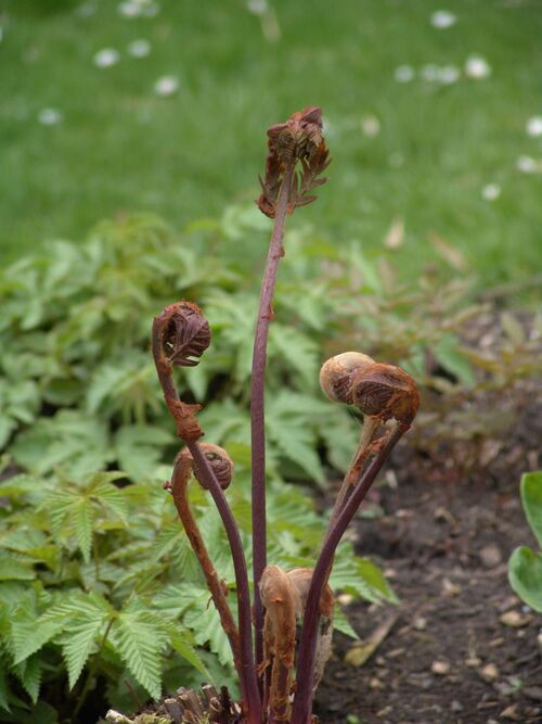 Osmunda regalis 'Purpurascens' Purple Royal fern plug plant €2.95