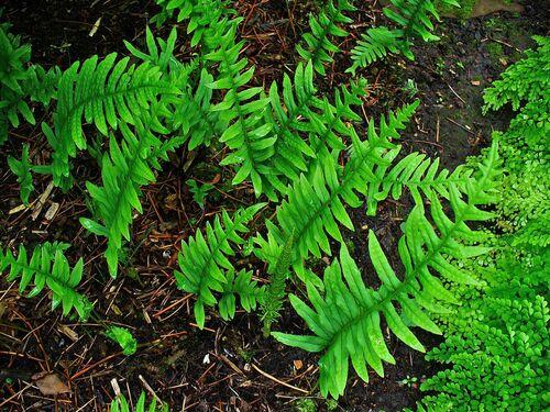 Polypodium vulgare plug plant €2.95