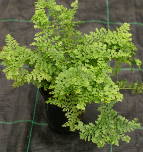 <i>Polystichum set.</i>-  'Rotundatum Cristatum' Sold out