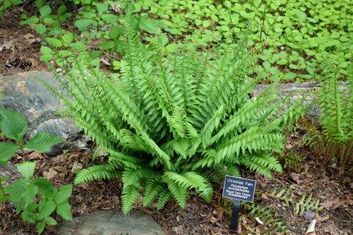 Polystichum acrostichoides - Christmas Fern