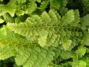 Polystichum setiferum 'Congestum' AGM 9cm £3.95