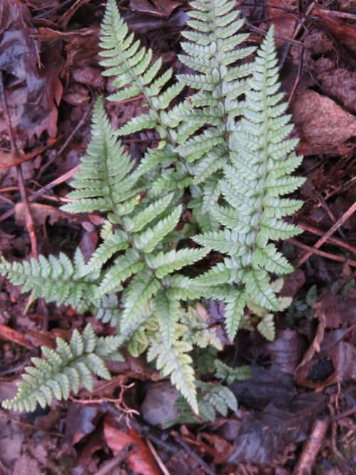 Polyctichum luctuosum - Frosted Rock Fern