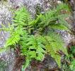 Polystichum mayebarae 9cm £4.95