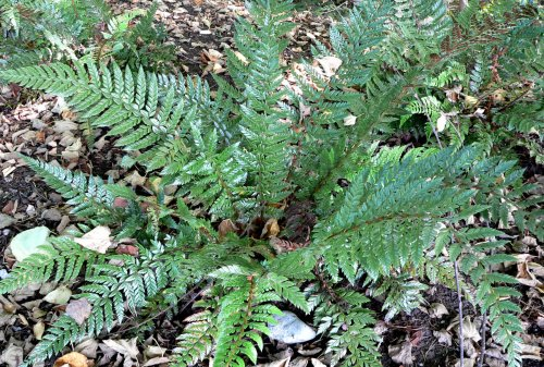 Polystichum neolobatum- Asian Sabre Fern sold out