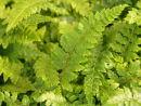 Polystichum polyplepharum -  Japanese Tassle Fern 9cm £3.95