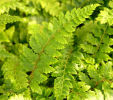 The evergreen fern collection- 4 ferns £15