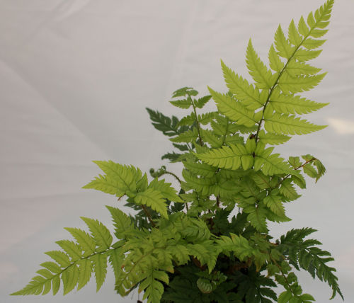Polystichum rigens- Holly Fern 9cm Sold out