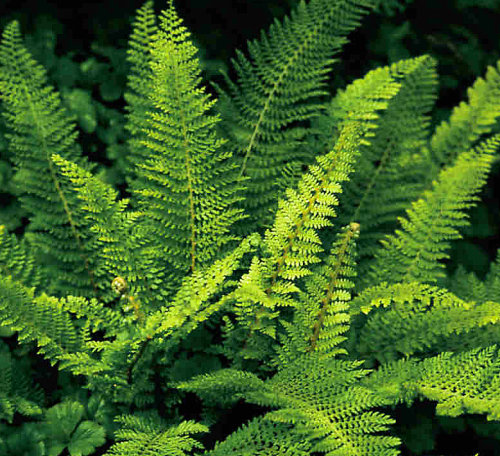 Polystichum setiferum 'Plumosum'