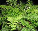 Polystichum setiferum 'Plumosum Densum' 9cm £3.95