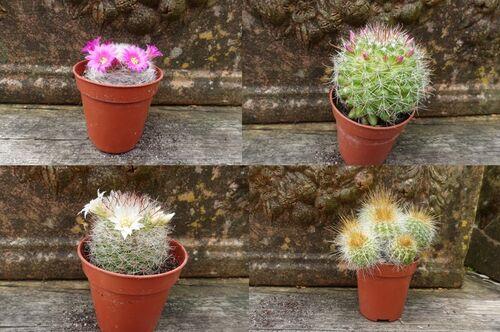 Tiny cactus mixed 6cm €2.25