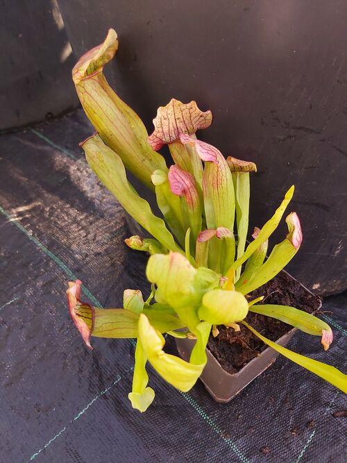 Sarracenia 'Stevensii' Pitcher Plant for sale in Ireland