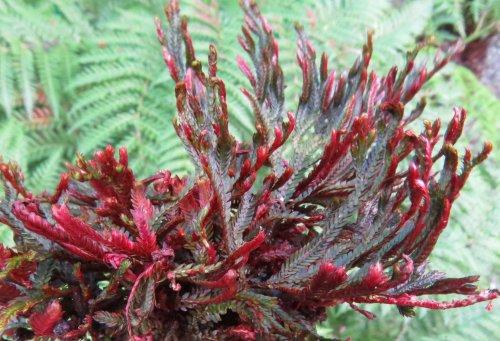 <i>Selaginella erythropus</i>.'Sanguinea' -Ruby-Red Spikemoss