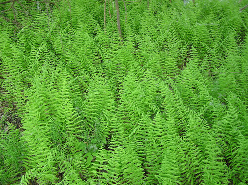 Thelypteris palustris - Marsh Fern for sale Ireland