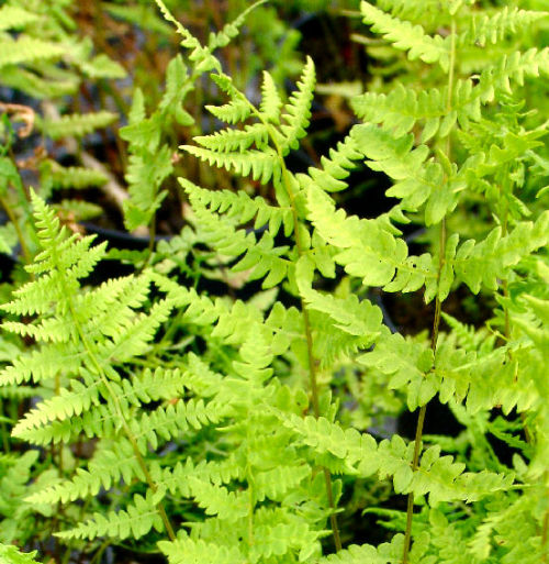 Thelypteris palustris - Marsh Fern 9cm £3.95