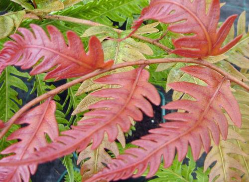 Woodwardia unigemmata - Jewelled Chain Fern sold out