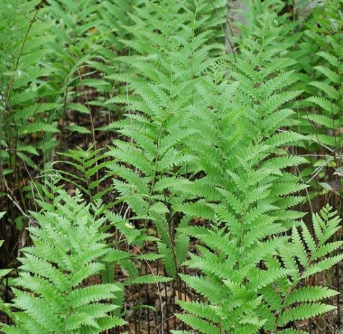 Woodwardia virginica - Virginia Chain fern 1 litre £8.95