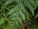 Woodwardia orientalis - Oriental Chain Fern -sold out