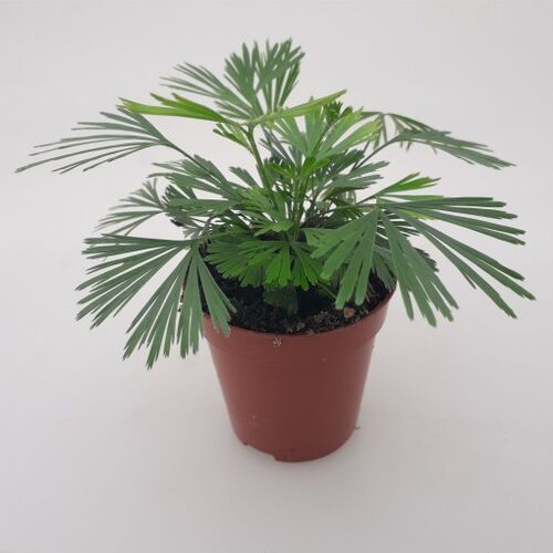 Actiniopteris radiata Fan Leaf Fern 6cm €3.95