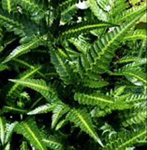 Arachniodes simplicior- East Indian Holly Fern