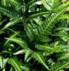 Arachniodes simplicior- East Indian Holly Fern