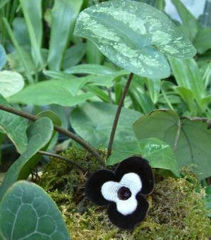Asarum maximum 'Ling Ling' - Panda Face Ginger 9cm £7.50