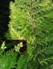 Asplenium bulbiferum- Hen and Chicken Fern
