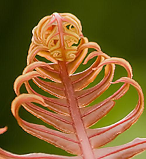 Blechnum brasiliense- Brazilian Tree Fern