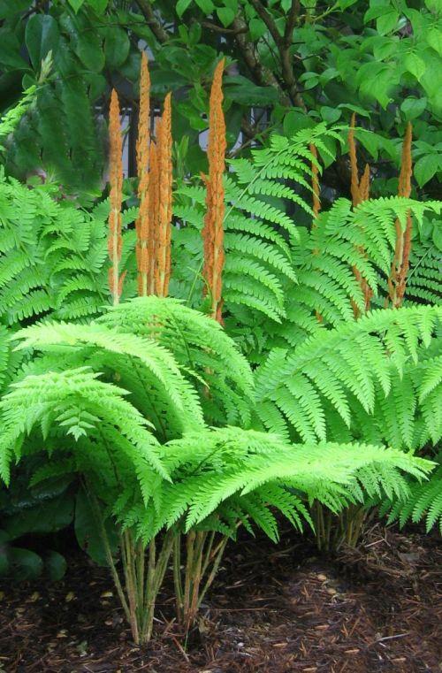 Osmundastrum cinnamomea-  Cinnamon Fern 9cm sold out