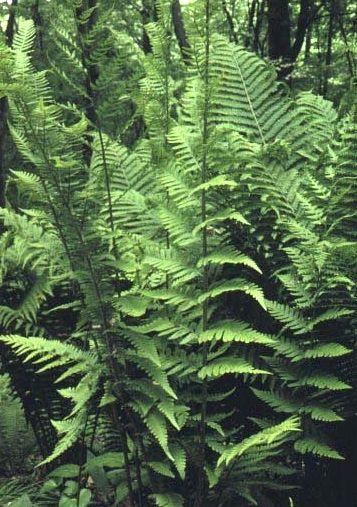 Dryopteris X australis - Dixie Wood Fern 9cm £5.95