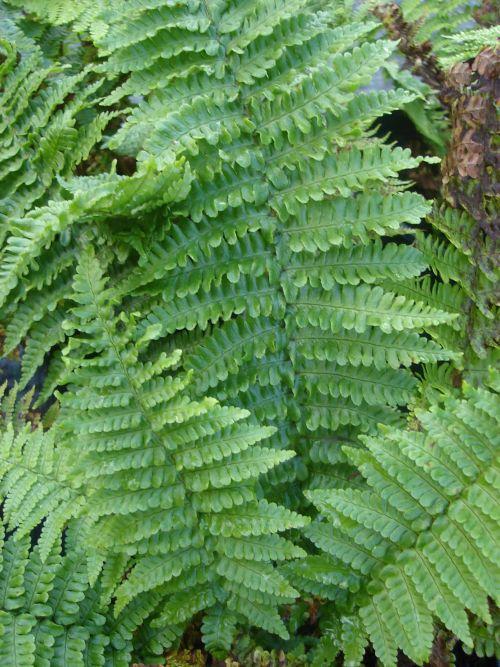 Dryopteris affinis 'Crispa' 9cm £3.95