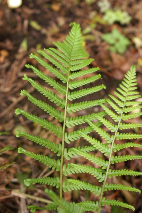 Dryopteris filix-mas 'Furcans' Forked Male Fern sold out