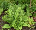 Dryopteris filix-mas 'Parsley'- Parsley Male Fern 9cm £4.95