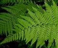 Dryopteris sichotensis (syn. D. coreano Ssp. Montana 9cm £3.95