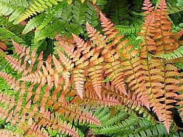 Dryopteris erythrosora 'Brilliance'-  Brilliant red Buckler Fern  9cm £5.95