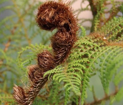 Cyathea tomentosissima - Highland Lace Tree Fern plug €4.95