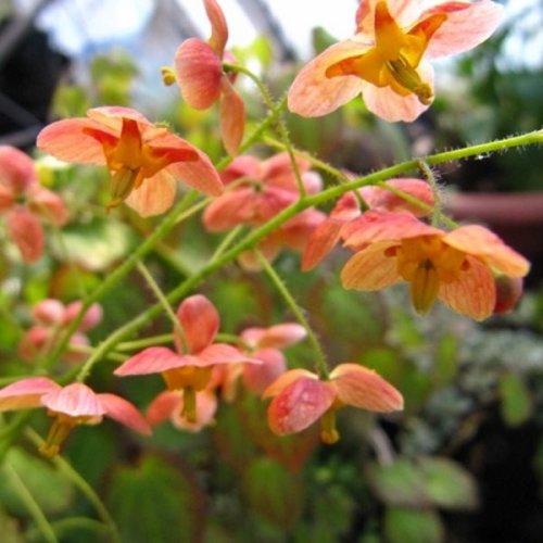 Epimedium x warleyense 'Orange Queen' 1litre £7.95