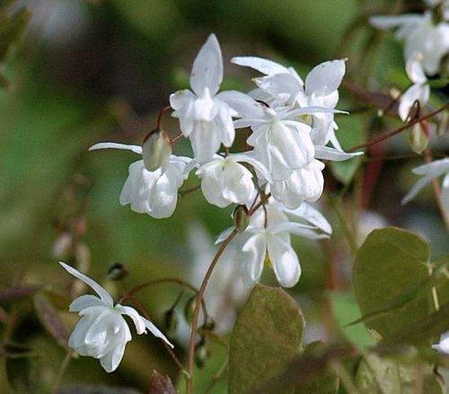 Epimedium x youngianum 'Niveum' sold out