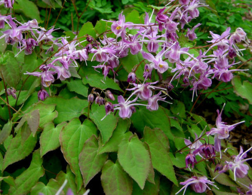 Epimedium grandiflorum 'Lilafee' ('Lilac Fairy)' Sold out