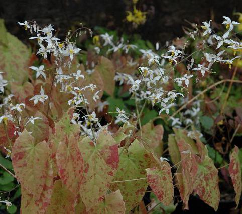Epimedium stellulatum 'Wudang Star' Sold out