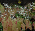 Epimedium stellulatum 'Wudang Star' Sold out