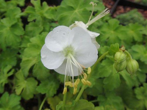 Geranium Macrorrhizome 'White-Ness' 9cm £4.95