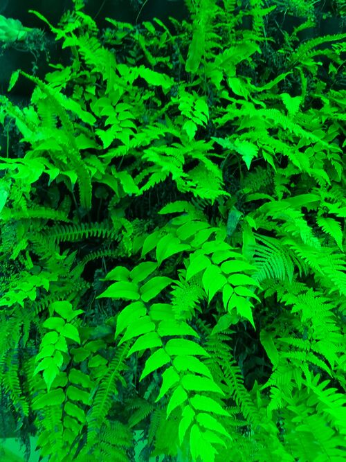 9 mixed ferns for living wall €32
