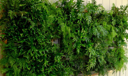 12 mixed ferns for living wall £39.00.