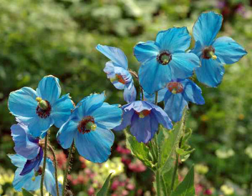 Meconopsis × sheldonii 'Lingholme' - Blue Himalayan Poppy- Sold out