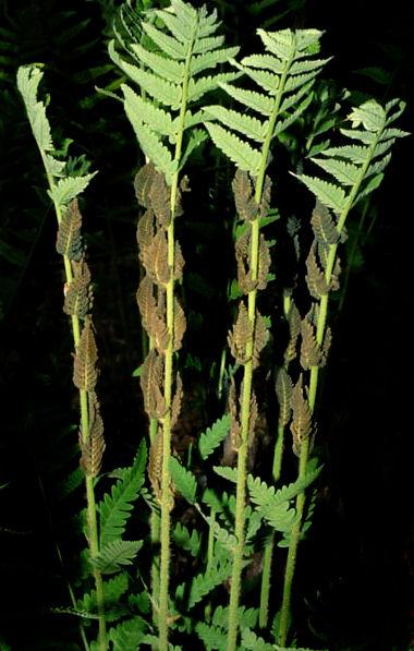 Osmunda claytoniana Interrupted Fern AGM