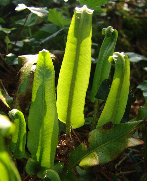 Asplenium scolopendrium- Hart's  Tongue Fern 9cm £3.95